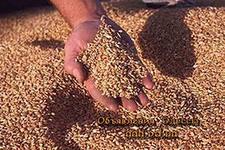 Хватит ли всем хлеба? Состояние зернового рынка 2012