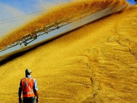 Производство зерна в РФ вырастет