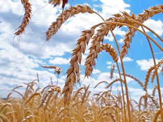 Эмбарго до обвала доведет: цены на рынке зерна в РФ приближаются к себестоимости